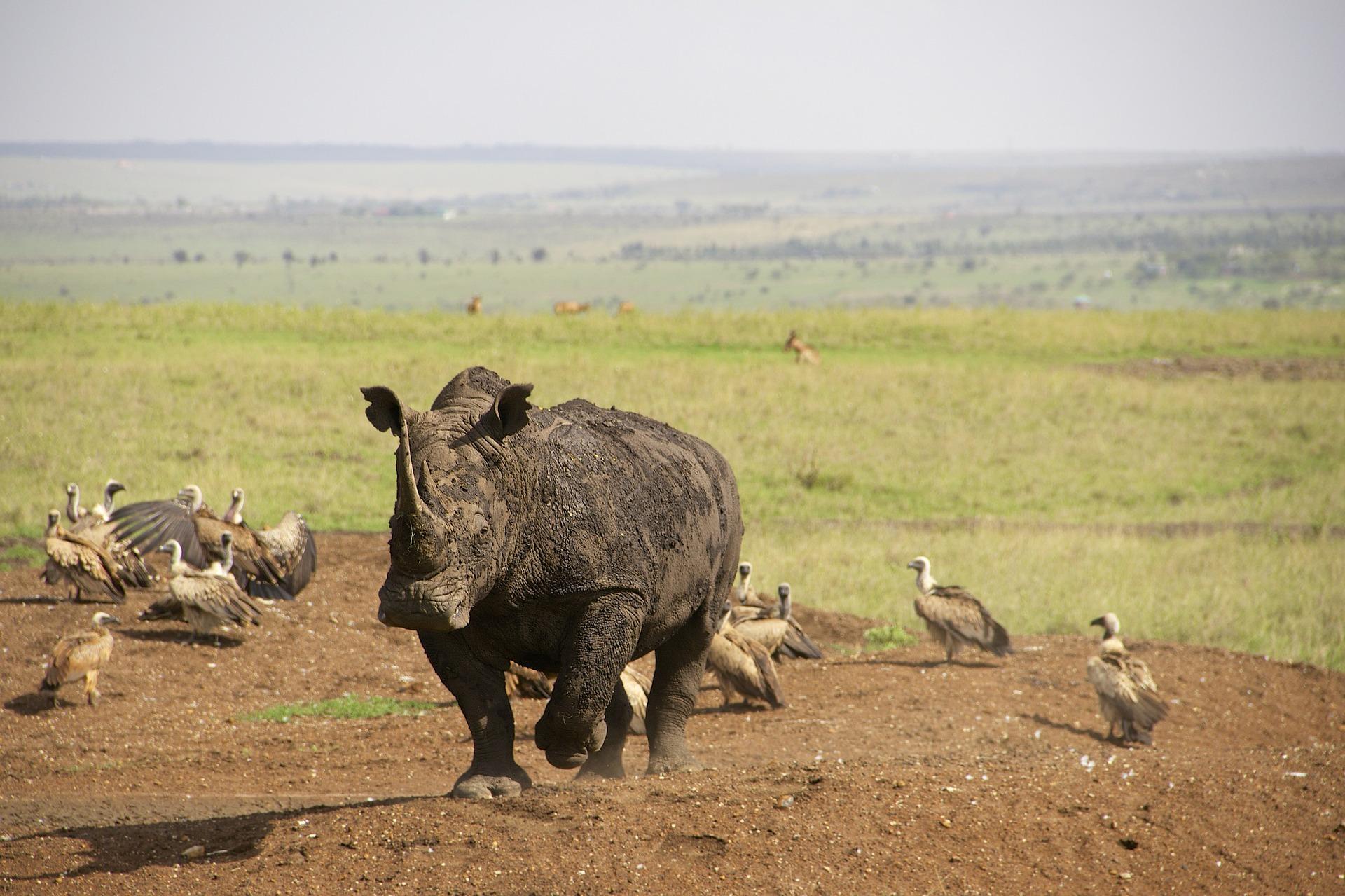 nairobi rhino-637797_1920