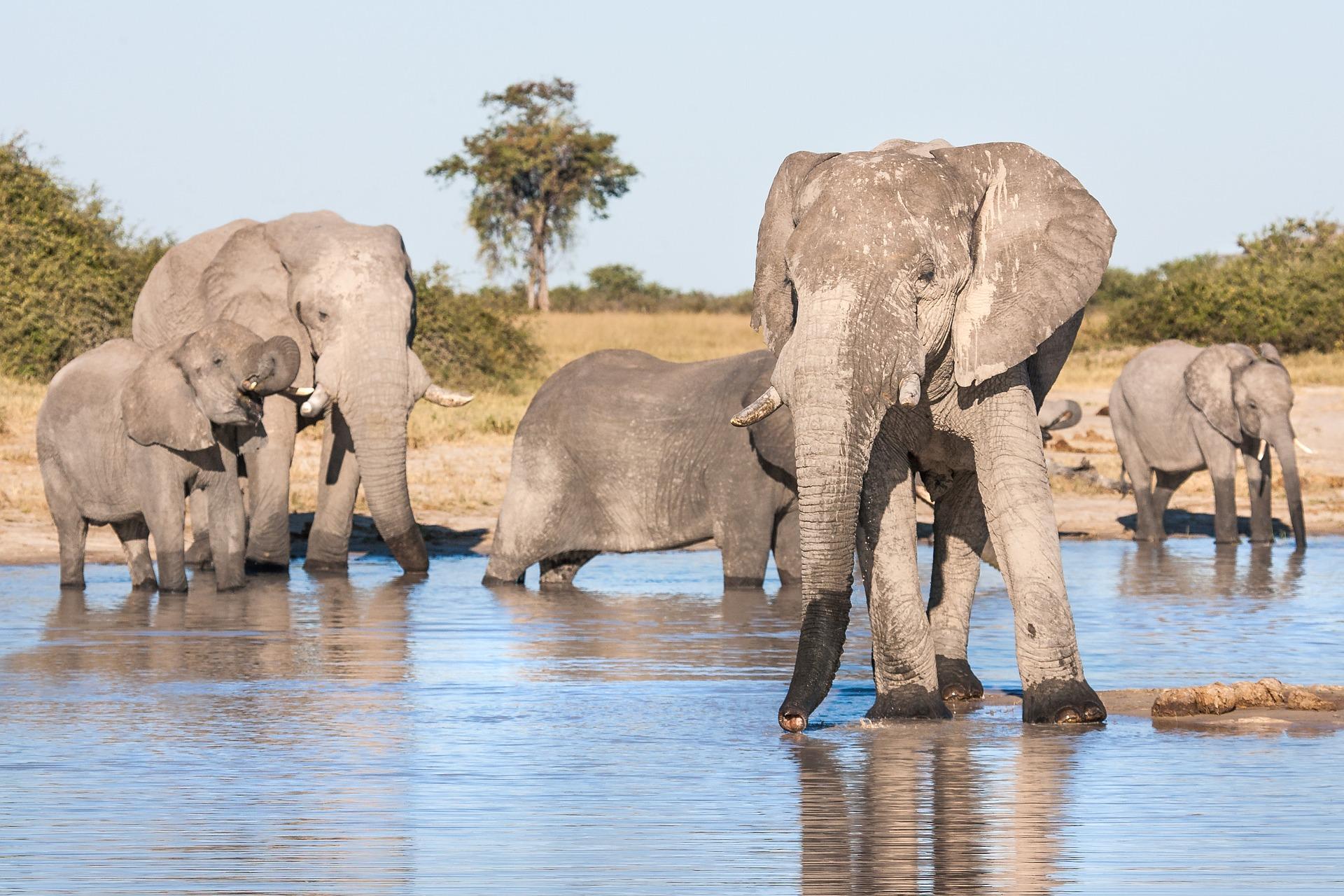 african-elephants-drinking-3064889_1920