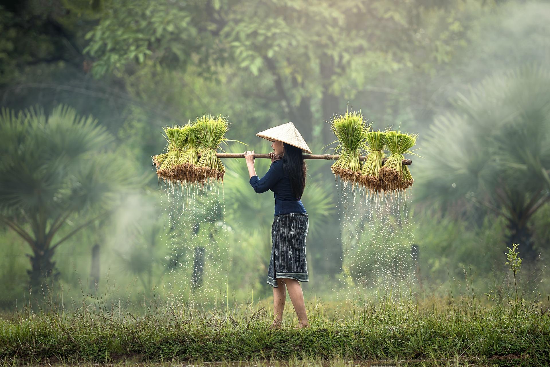 myanmar harvesting-1822578_1920